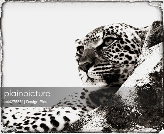 Portrait of an African Leopard, Botswana, Africa - p4427538f by Design Pics