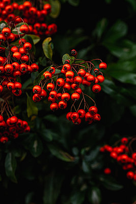 Vibrant red winter berries - p1628m2233809 by Lorraine Fitch