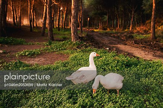 Two geese - p1046m2053699 by Moritz Küstner