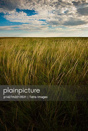 USA, South Dakota, Field of tall prairie grass - p1427m2213531 by Tetra Images