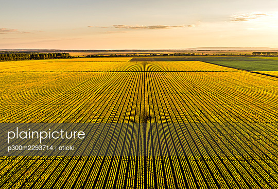 Aerial view of vast corn field at sunset - p300m2293714 by oticki