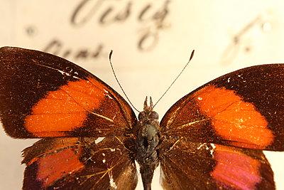 Macro Butterfly - p1054m2278046 by Maria Kazvan