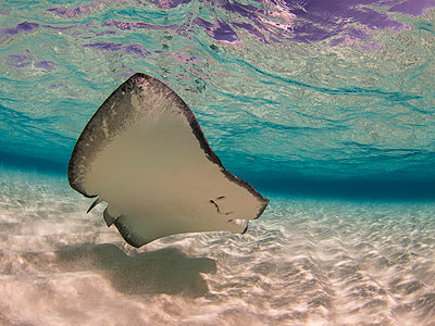 Stingray swimming underwater, Stingray City, Grand Cayman, Cayman Islands - p301m2016367 by Brian Caissie