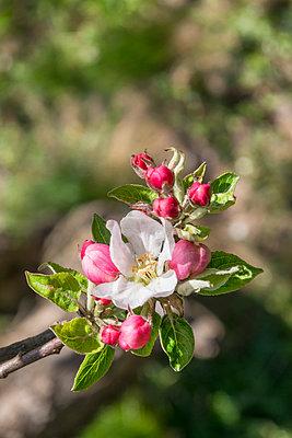 Apfelblüte - p1205m2192351 von Toni Anzenberger