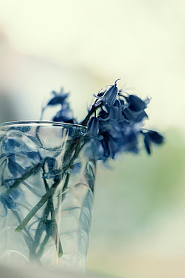 Close-up of bluebells resting in dirty glass with old water mark - p1047m2082885 by Sally Mundy