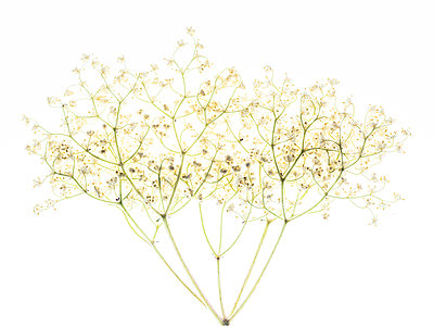 Elderflower - p401m2185695 by Frank Baquet