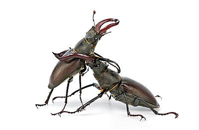 Stag beetle, Lucanus servus - p1437m2052914 by Achim Bunz