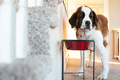 Large dog drooling standing in front of food bowl at home - p1166m2136695 by Cavan Images