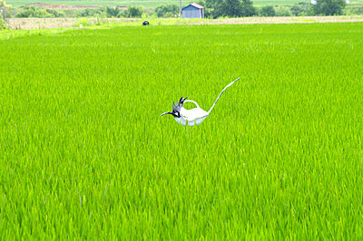 Scarecrow in rice field, Hokkaido prefecture, Japan - p5147675f by Image House