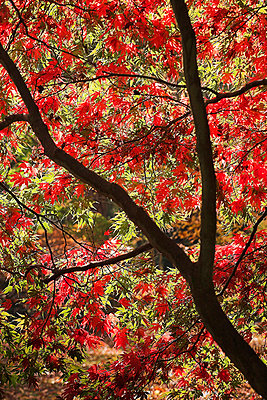 Red Acer Tree   - p4427455f by Design Pics