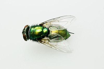 Schillernde Fliege - p4500104 von Hanka Steidle