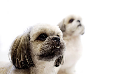 Shih Tzu dogs - p5145413f by Doable