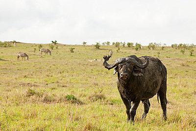 Buffalo on  grassland - p5330237 by Böhm Monika
