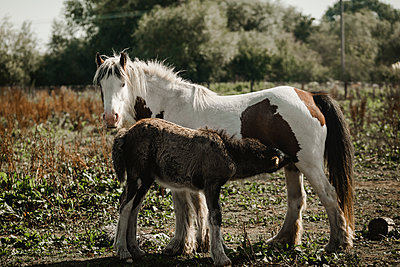 White and brown horse with foal - p1628m2209897 by Lorraine Fitch