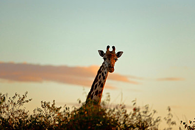 Giraffe in the sunset - p533m885417 by Böhm Monika
