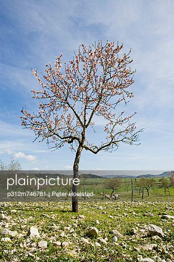 Almond tree on pasture - p312m746781 by Peter Hoelstad
