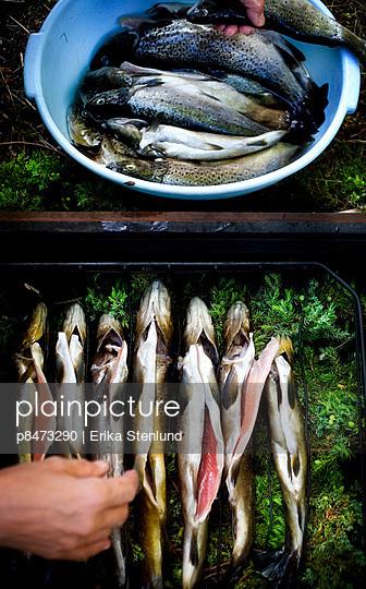 Trout Fish - p8473290 by Erika Stenlund