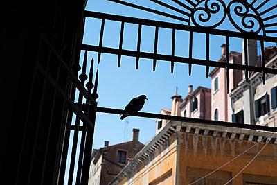 Taube am Fischmarkt beim Rialto, Venedig - p1493m1584717 von Alexander Mertsch
