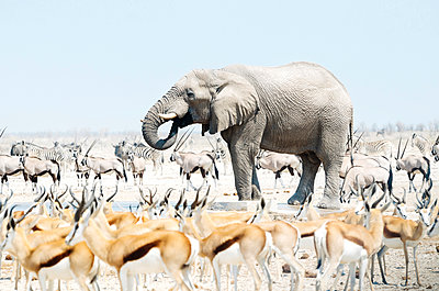 Namibia, Etosha National Park, elephant surrounded by Springboks, Oryx and Zebras - p300m1449916 by Gemma Ferrando