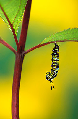 Caterpillar hanging from a plant stem;British columbia canada - p442m837611f by Thomas Kitchin & Victoria Hurst