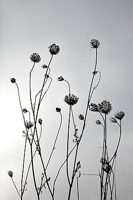 Wild Carrots - p876m1503918 by ganguin