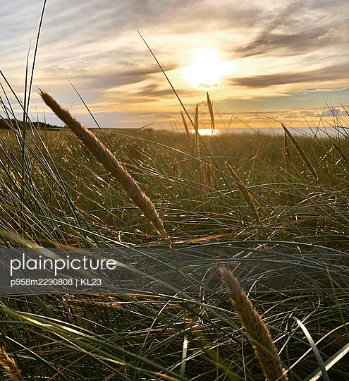 Marram grass at sunset, Rügen - p958m2290808 by KL23