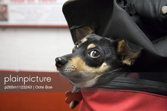 Taschenhund - p265m1123243 von Oote Boe