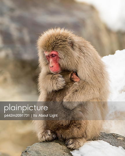 Snow Monkey (Macaca fuscata), also known as Japanese Macaque, holding it's baby in a loving embrace to help it keep warm; Nagano, Japan - p442m2091731 by Its About Light