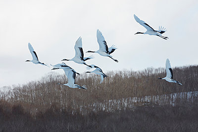 Red-Crowned Cranes, Grus japonensis, mid-air in winter. - p1100m1520145 by Mint Images