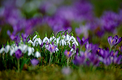 Crocus field with snowdrops - p3005835f by Erich Kuchling