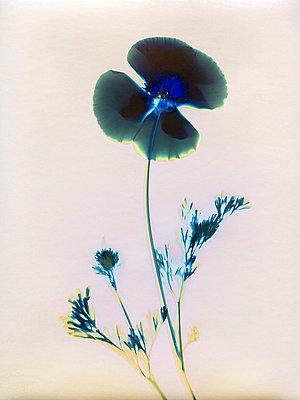 Gepresste Blume - p945m2278191 von aurelia frey