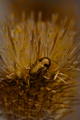 Cetoniidae on a thistle - p1028m1584170 von Jean Marmeisse