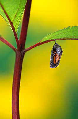 Monarch butterfly beginning to emerge from chrysalis during pupa stage of butterfly metamorphosis;British columbia canada - p442m837612f by Thomas Kitchin & Victoria Hurst