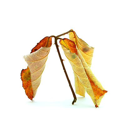 Curled leaves - p813m956543 by B.Jaubert