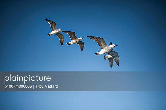 Seagulls - p1007m886885 by Tilby Vattard