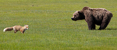 Red Fox and Grizzly Bear on sedge flats - p884m864049 by Matthias Breiter