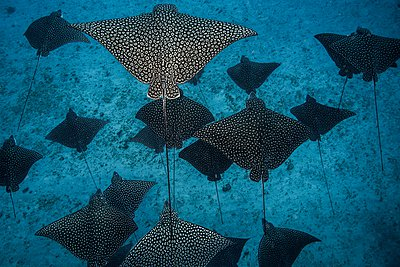 Underwater overhead view of spotted eagle rays casting shadows on seabed, Cancun, Mexico - p924m1094816f by Rodrigo Friscione