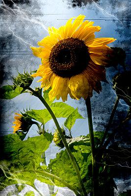 Sonnenblume im Gewitter - p9790379 von Weber-Decker