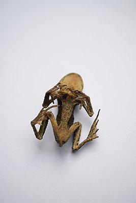 Frosch Mumie 1 - p067m1131813 von Thomas Grimm
