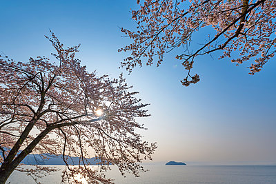 Cherry blossoms in full bloom at Lake Biwa, Shiga Prefecture, Japan - p307m1495899 by MATSUO.K