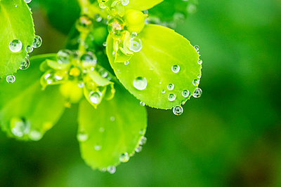 Water droplets on bright green plant leaves - p1302m2214845 by Richard Nixon