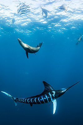 Striped marlin hunting mackerel and sardines, joined by sea lions - p429m2068757 by Rodrigo Friscione