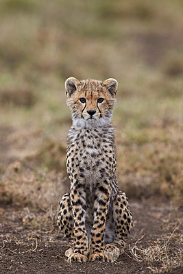 Cheetah  cub, Serengeti National Park, Tanzania, East Africa, Africa - p871m1056780f by James Hager