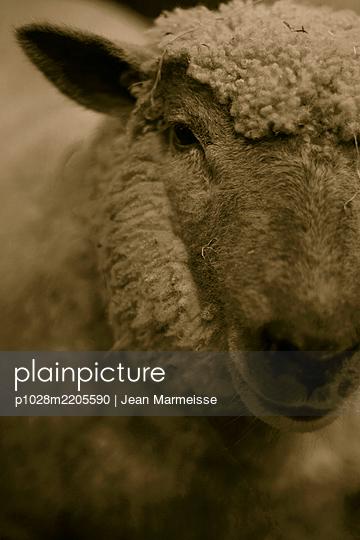 Vendéen Sheep, Paris International Agricultural Show - p1028m2205590 by Jean Marmeisse