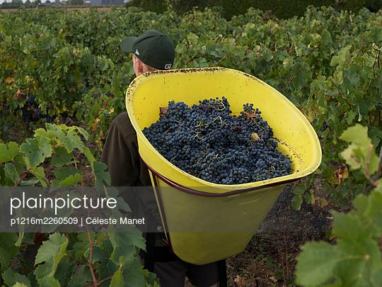 Vine and grapes - p1216m2260509 von Céleste Manet