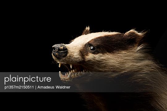 Tierportrait Dachs - p1357m2150511 von Amadeus Waldner