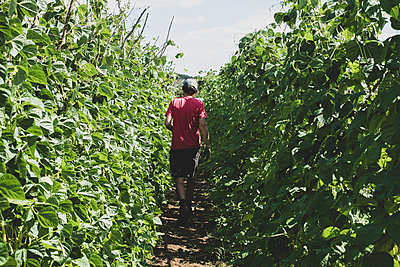Rear view of farmer walking along rows of runner beans. - p1100m2271478 by Mint Images