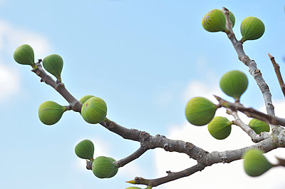 Fig tree - p885m856943 by Oliver Brenneisen