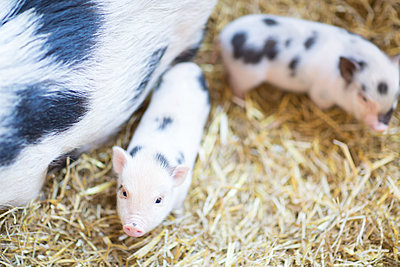 Minischweine 3 - p295m2015091 von Nanine Renninger