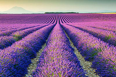 Fields of Lavender, Provence, France - p651m2007248 by Tom Mackie